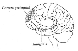 via-corteza-prefrontal-amc3adgdala